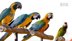科威特:鹦鹉训练秀