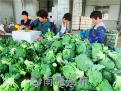 """走向我们的小康生活  江苏如东:""""一颗菜""""种出万元田"""