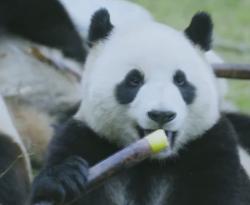 """在悉尼""""云游""""四川大熊猫栖息地"""