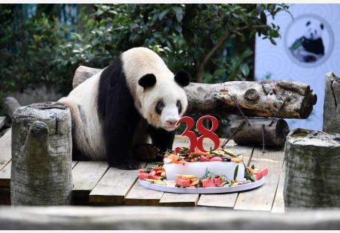 世界現存最年長圈養大熊貓迎來38歲生日