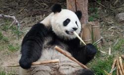 青海西寧:大熊貓樂享高原生活