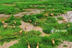 条子泥湿地首次发现50只以上的麋鹿种群