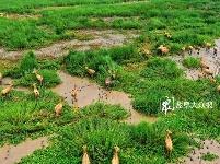 条子泥湿地首次发现50只以何林一脸震惊上的麋鹿种群