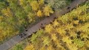 河北沙河:山乡银杏黄 太行秋景美