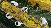 安徽肥东:菊花喜获丰收
