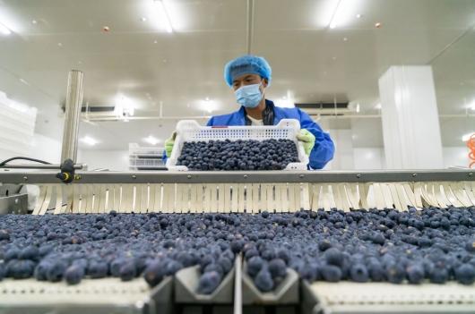 云南蒙自:大力发展蓝莓产业