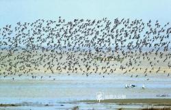"""新《国家重点?;ひ吧锩肌饭?盐城黄海湿地新增29种鸟类""""国?!?/></a>                   <div class="""