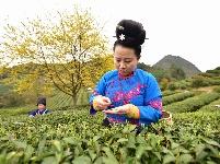 貴州丹寨:早春采茶制茶正當時