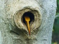 罕見!云南盈江記錄到雙角犀鳥封巢影像