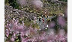浙江:万亩桃园花正盛
