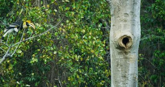 罕见!云南盈江记录到双角犀鸟封巢影像