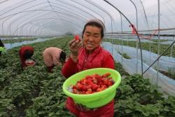 """东台市五烈镇青年农民沈德全""""夫妻搭档""""种植草莓收益高"""