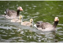 美茵河畔的雁宝宝