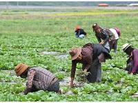 四川壤塘:高原生态蔬菜种植助力乡村振兴