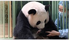 """欢欢喜喜!旅法大熊猫""""欢欢""""双喜临门"""